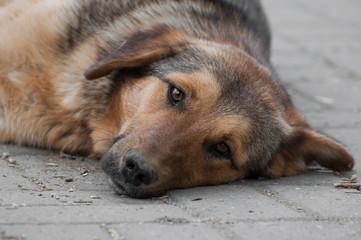 curious vagabond dog resting looking ahead