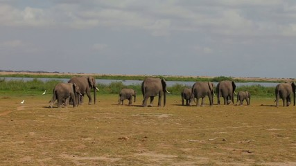 Herd of elephants at the watering hole goes.