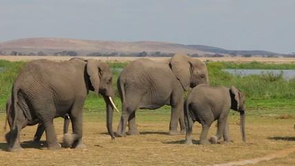 Herd of elephants comes to watering.