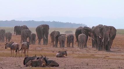 Large herd of African elephants walking