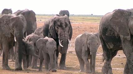 Elephants Migrate Across Amboceli National Park