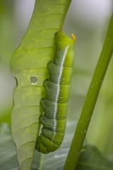 Caterpillars eating green leaf