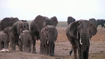 Big Herd Of Elephants Walking Towards Camera