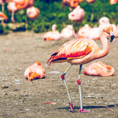 The pink Caribbean flamingo.