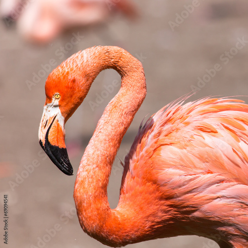Tuinposter Flamingo The pink Caribbean flamingo.