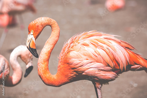 Foto op Canvas Flamingo The pink Caribbean flamingo.