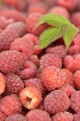 Freshly picked raspberries