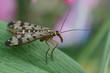canvas print picture - Weibliche Skorpionsfliege