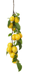 yellow cherry plums on the white background