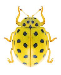 Beetle Ladybird Psyllobora vigintiduopunctata