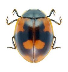 Beetle Ladybird Adalia bipunctata
