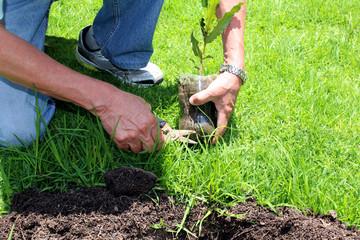 Planting a Tree Macadamia