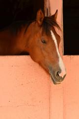 Schläfriges Pferd