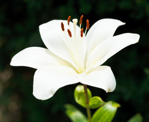 white fresh flower of Lilium candidum