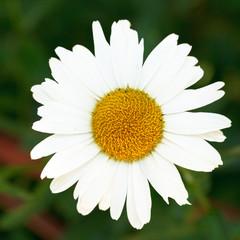 head of decorative Ox-eye daisy flower