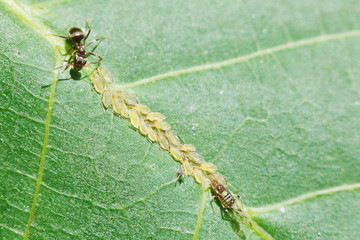 ant grazing aphids herd on leaf