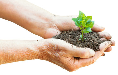 soil and green sprout in old man hands