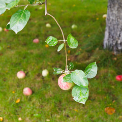 red apple on branch over fallen ripe fruits