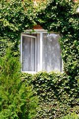 green ivy around open window in rural house