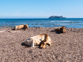 Cows sitting in the mediterranean beach of Barcaggio