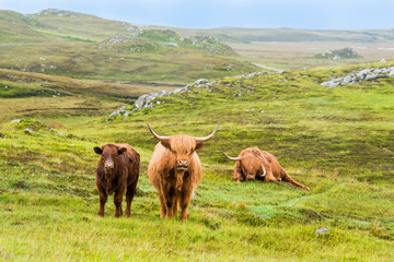 Scottish Highland Cows in the rain