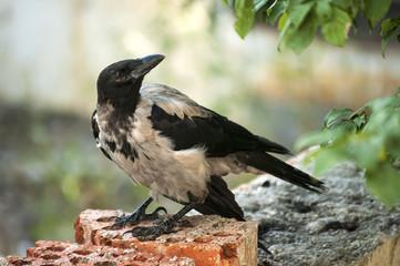 Magpie living in urban grunge environment closeup