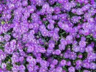Delosperma Cooperi Purple Flowers