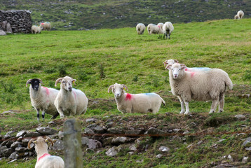 Schafe Schafherde in Irland auf Wiese - Grüne Insel