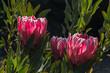 detail of backlit pink protea flowers