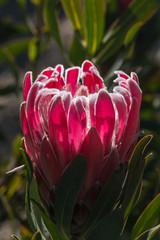 detail of purple protea flower