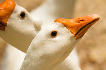 Ganso - Goose