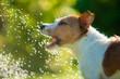 Leinwanddruck Bild - dog drinks water, spray