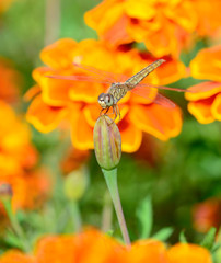 dragonfly hanging on african marigold with vintage filter