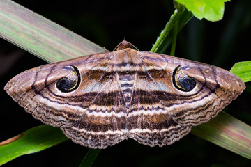 Eyed Rustic moth