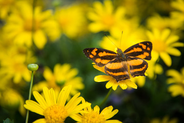 Monarch butterfly among yellow daisies