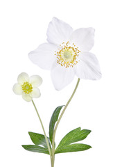 Two beautiful delicate flower in a vase isolated on white backgr
