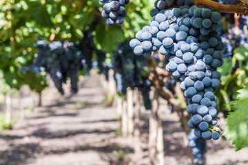 Sangiovese grapevine