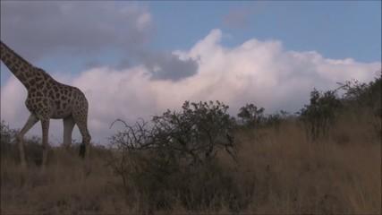 Giraffe walking past