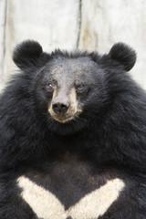 Asiatic black bear, Tibetan black bear,Ursus thibetanus