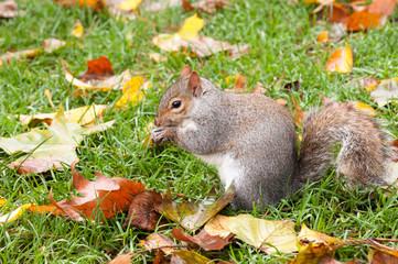 Ecureuil qui grignotte sur l'herbe
