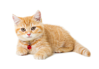 little Ginger british shorthair cats over white background