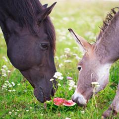 horse and donkey eat watermelon