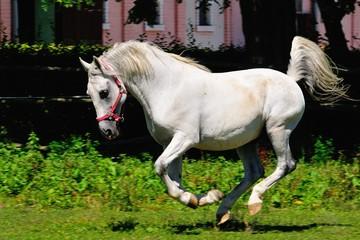 Running Lipizzaner horse