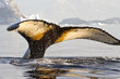 humpback whale tail that dives into the water on a sunny afterno