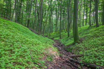 little creek in beech forest