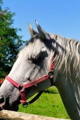 Portrait of Lipizzaner stallion