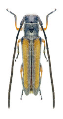 Beetle Phytoecia vittipennis pravei