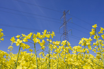 Electricity pylon in yellow canola field.