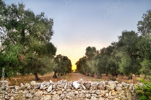 Canvas Olijfboom Puglia, Italy, Olive trees