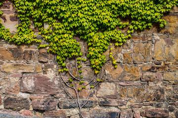 Mauerpflanze